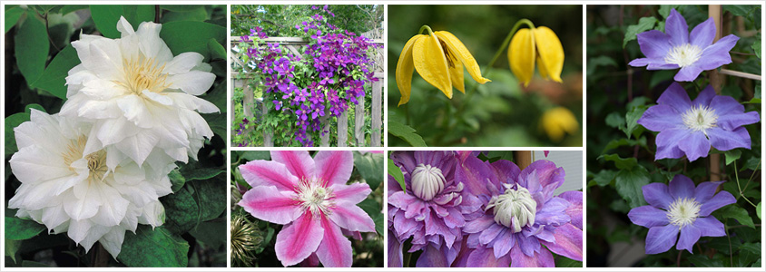 clematis-care