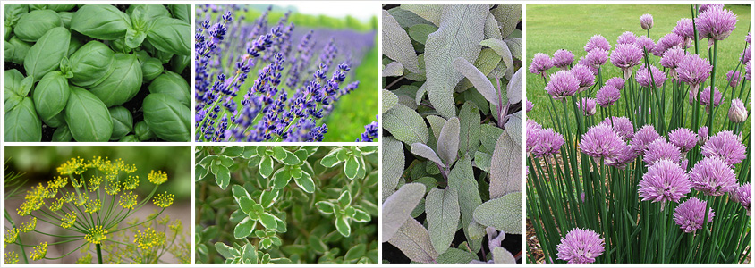 favourite-herbs