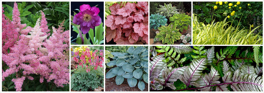perennials-for-shade