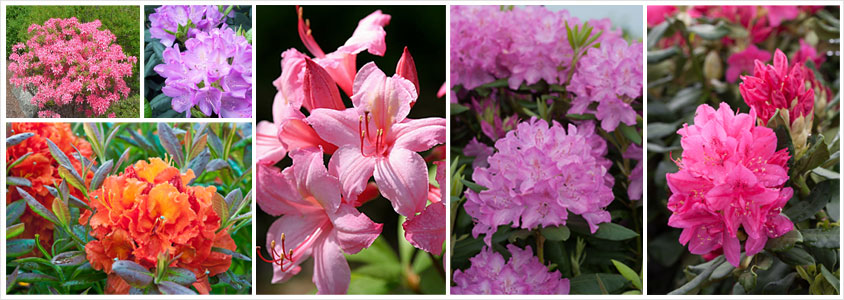 rhododenrons-and-azaleas