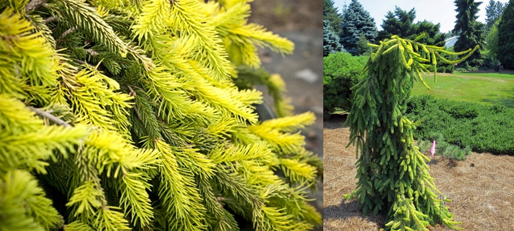 Picea_GoldDrift