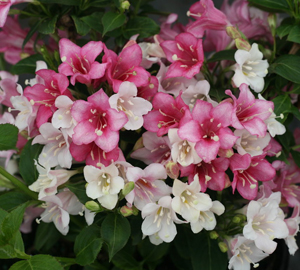 Weigela_Trilogy-sm