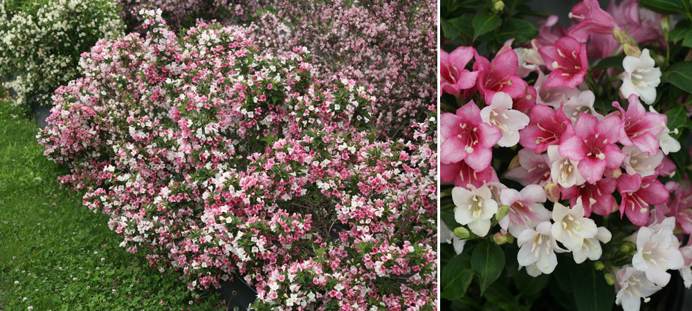 Weigela_Trilogy