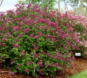 Bloomerang® Dark Purple Dwarf Lilac
