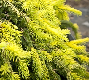 Gold Drift Weeping Spruce