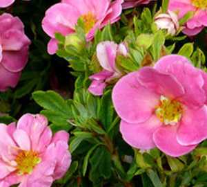 Happy Face® Pink Paradise Potentilla