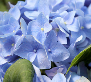 Let's Dance® Rhapsody Blue Hydrangea
