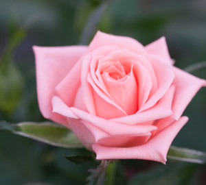 Roses: Type And Pruning
