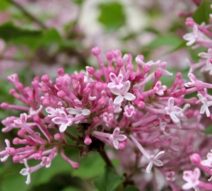 Scent and Sensibility™ Pink Lilac