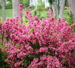 Sonic Bloom Reblooming Weigela