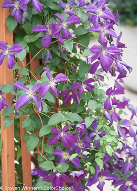 Clematis_Happy_Jack
