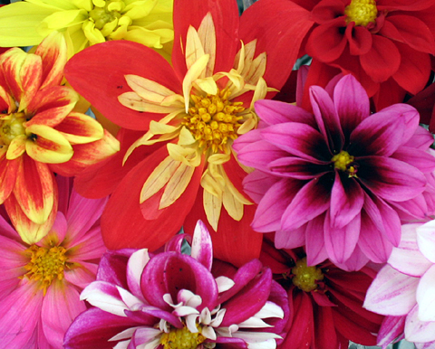 Dahlias -Beautiful plants (4)