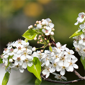 Spring flowering trees canadale garden centre st thomas the chanticleer ornamental pear pyrus calleryana chanticleer is a sure sign spring has arrived beautiful small white flowers cover the entire tree mightylinksfo Image collections