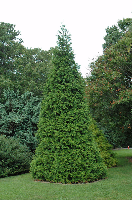 Thuja_Green_Giant