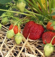Delicious strawberries ripening on the plant at an organic strawberry farm