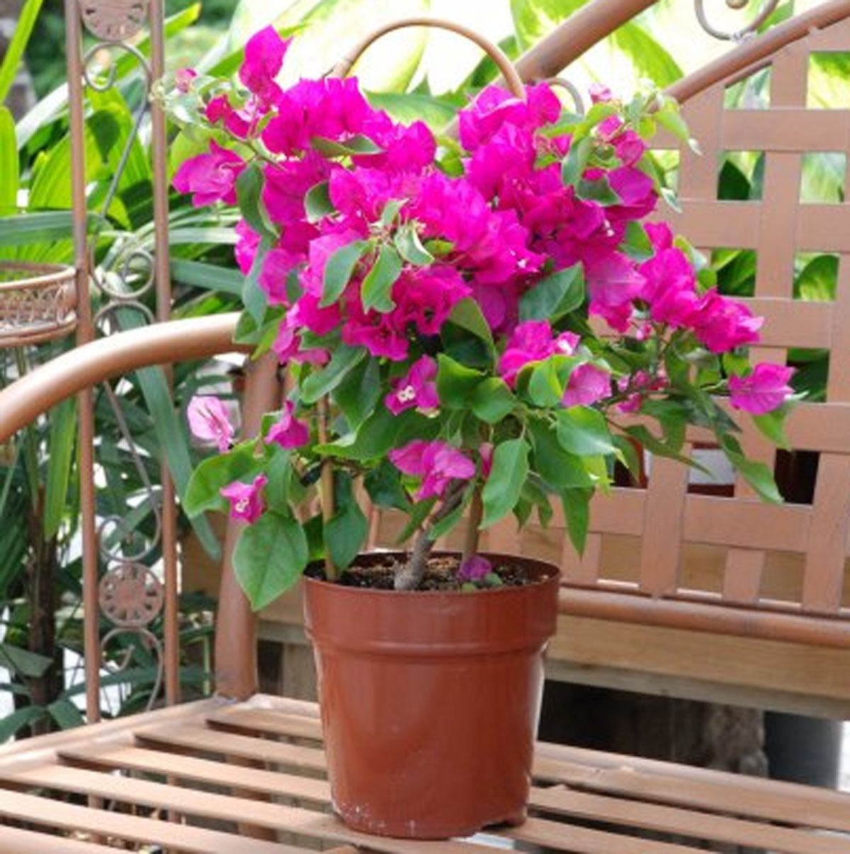 Bougainvillea Potted (2)