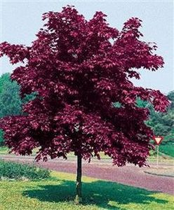 Acer Royal Red (3)