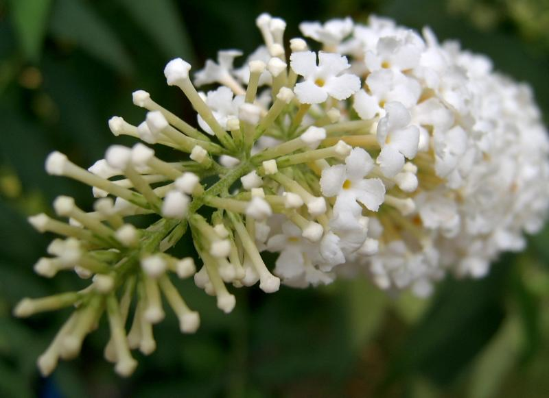 Buddleia White Ball Close-up