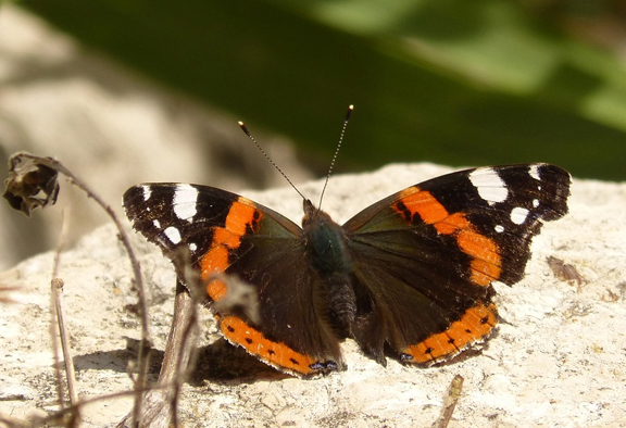 Butterfly_on_Rock