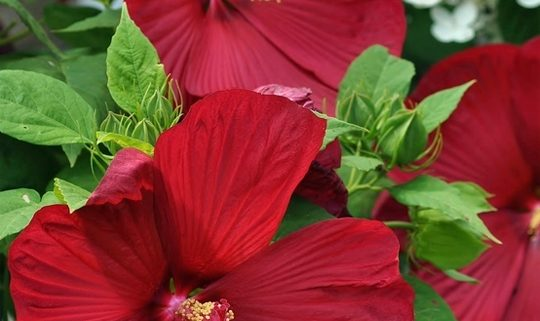 Hibiscus Dinnerplate red
