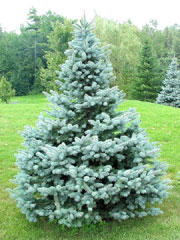 abies baby blue spruce