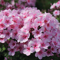 pHLOX sUMMER eARLY sTART lIGHT pINK