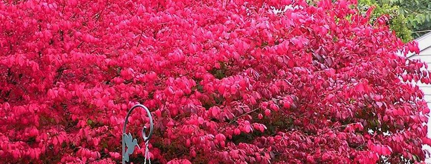 Trees shrubs archives canadale garden centre st thomas plants for fall colour mightylinksfo